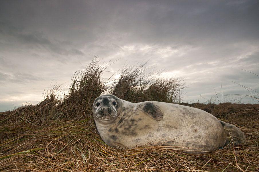 Grijze Zeehond op het strand van Stijn Smits