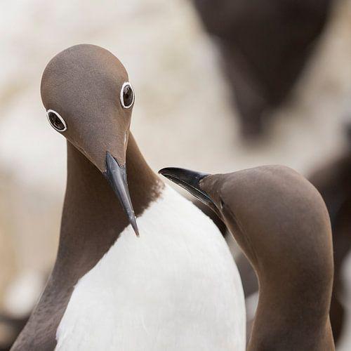 Vogels | Gebrilde zeekoet tijdens de balts - vierkant van Servan Ott