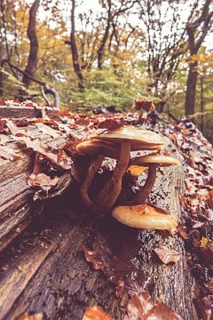 Pilze auf einem Baumstamm von Fotografiecor .nl