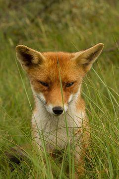 Junger Fuchs in Posen für die Linse von Wim Brauns
