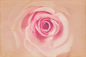 The Rose Antique van anouk drenth