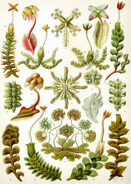 Botanische prent van Ernst Haeckel van Studio POPPY