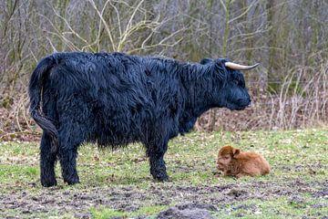Zwarte Schotse Hooglander moeder met een bruin kalf van Ben Schonewille