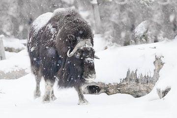 Krachtige gehoornde stier onder zware sneeuw in het bos. Ijsgehoornde poolreliëf van de ijstijd hari van Michael Semenov
