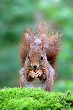 Eichhörnchen von Ronny Struyf