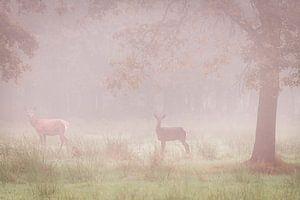 Twee edelherten in de mist van jowan iven