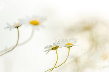 Tanzende Gänseblümchen von Gonnie van de Schans
