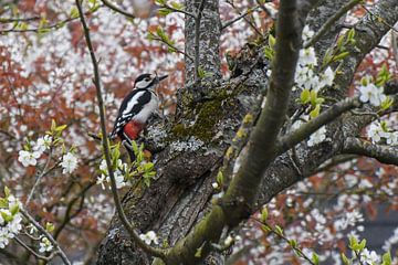 Specht / Woodpecker