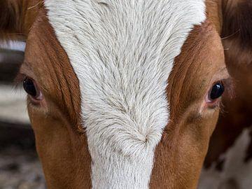 roodbonte koe 1 van