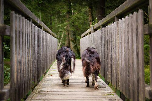 Best friends | Twee border collies lopen over een houten brug