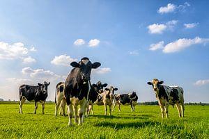 Gruppe von Kühen in die Linse