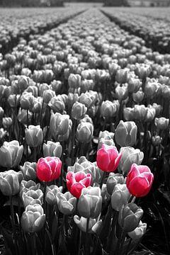 Hollandse tulpen von Dennis Claessens