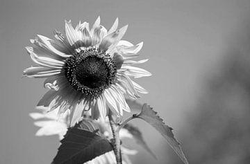 zonnebloem zwart/wit van Eugene Lentjes