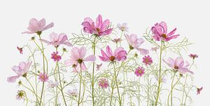 Fleurs de Cosméa sur Fionna Bottema