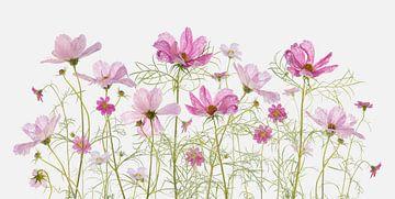 Cosmea-Blüten von Fionna Bottema