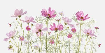 Cosmea bloemen van Fionna Bottema