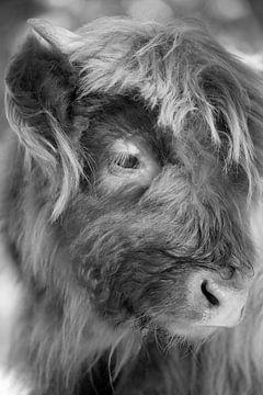 Schotse hooglander (jong, kalf) van Francis Dost