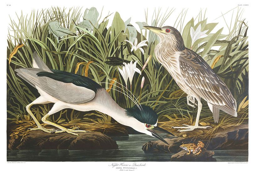 Kwak Vogel van Birds of America