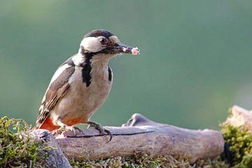 Specht mit einem schmackhaften Snack auf einem Ast von Petra Vastenburg