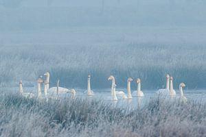 Winterstemming met wilde zwanen en een kleine zwaan van