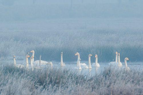 Winterstemming met wilde zwanen en een kleine zwaan