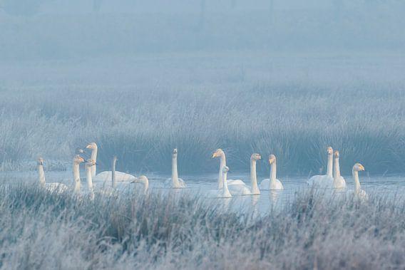 Winterstemming met wilde zwanen en een kleine zwaan van Karla Leeftink