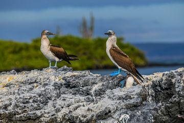 Blauwvoet Jan van Gent Galapagos eilanden von Lex van Doorn