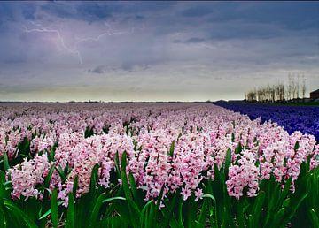 Een hyacintenveld