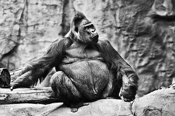 männlichen Gorilla sitzt auf einem Hintergrund von Steinen und schaut stolz. Verfärbt, schwarz und w von Michael Semenov