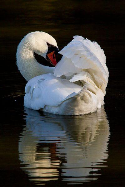 Vogels | Knobbelzwaan in reflectie - Oostvaardersplassen van Servan Ott