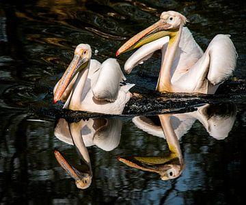 Twee pelikanen von Harrie Muis