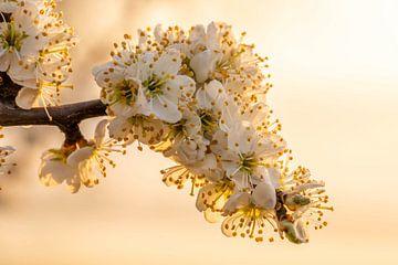 Weiße Obstbaumblüte bei Sonnenaufgang von Dafne Vos