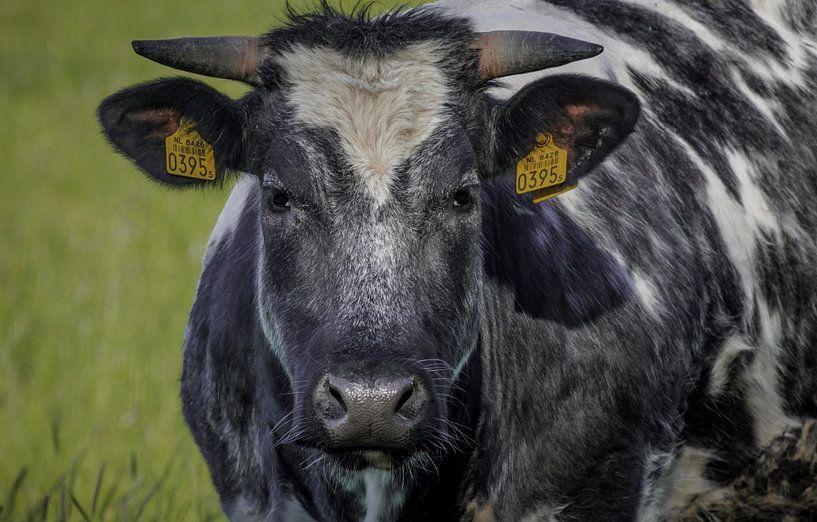 Just a cow van Fred Bekema