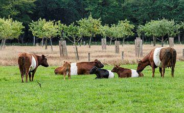 een kudde met lakenvelder koeien met bos op de achtergrondelder, meaning the Dutch Belted. A Dutch B van Compuinfoto .