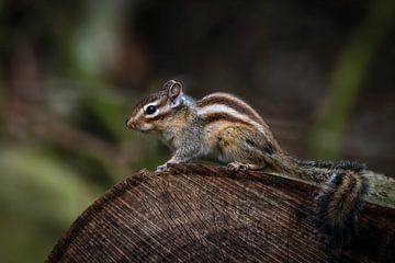 Eekhoorn: grondeekhoorn op boomstam