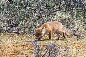 Junger Fuchs entdeckt die Welt