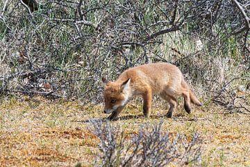 Jonge vos ontdekt de wereld van Merijn Loch