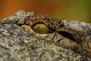 Krokodil van Laurent Scheffer