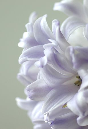 Tere hyacinth