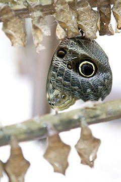 Caligo Teucer - Papillon hiboux sur rene marcel originals