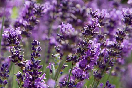 Lavendelveld