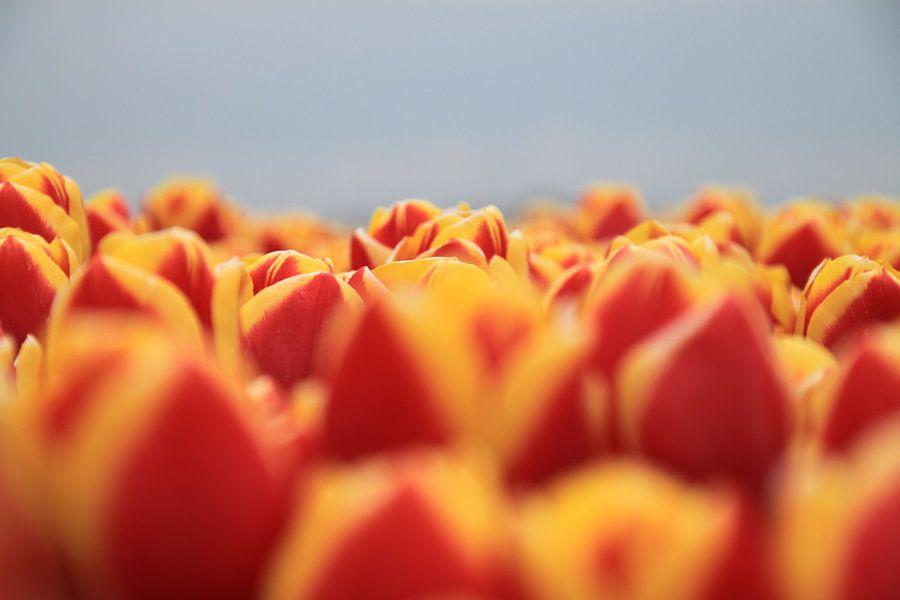 Tulip Flames van Marcel van Rijn