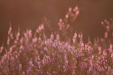 De heide staat mooi in bloei in Bergen op Zoom van Sabina Meerman