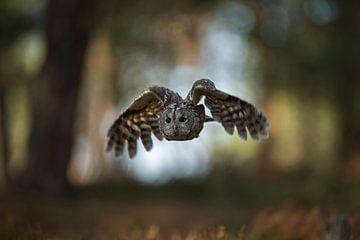 Tawny Owl ( Strix aluco ) in flight, flying through open woods, hunting, frontal shot, in front of n van