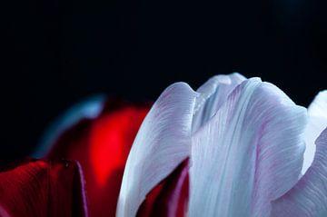 Spitze der Tulpen von Anita van Hengel