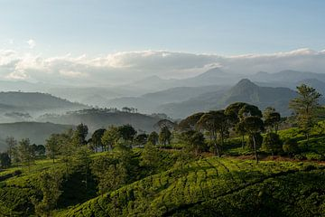 Thee plantage Indonesië