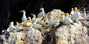 Gannets on Bass Rock in the Firth of Forth