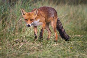 De nieuwsgierige vos