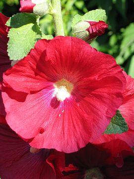 Close-up van de bloem van een rode stokroos van