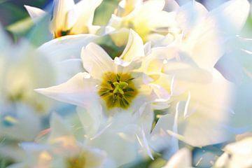 Witte tulpen van Marianna Pobedimova